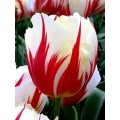 Лале (Tulipa 'Carnaval de Rio') T11