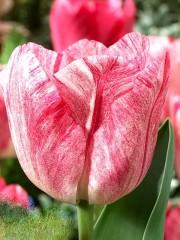 Лале (Tulipa 'Hemisphere') T29