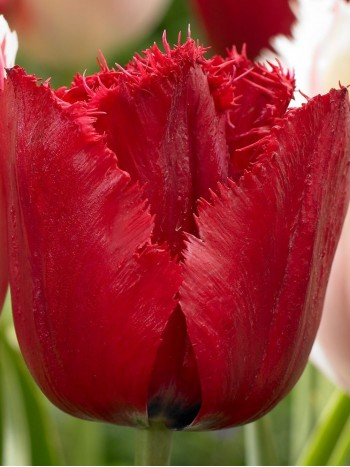 Лале (Tulipa 'Red Wing') PR915