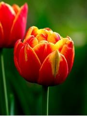 Лале (Tulipa 'Cilesta') T35