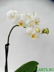 Орхидея Фаленопсис -мини - бяла