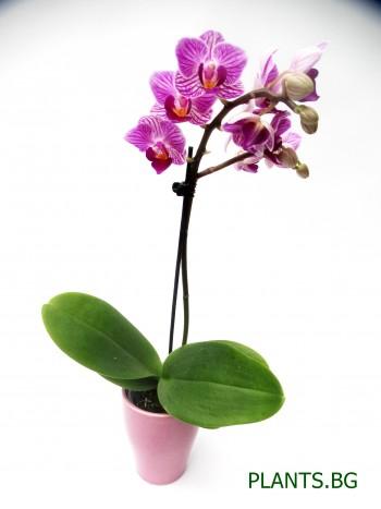 Орхидея Фаленопсис - мини - лилава