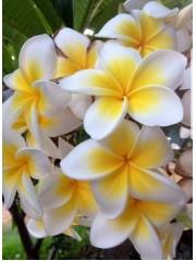 Ароматна плумерия разсад - бяло-жълта