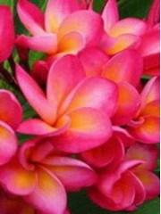 Ароматна плумерия разсад - наситено розова с жълто