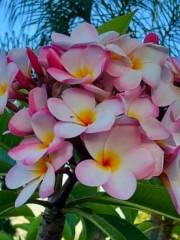 Ароматна плумерия разсад - бледо розово-жълта