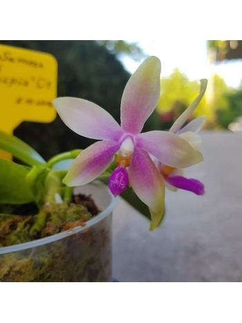 Орхидея Фаленопсис (Phal. Samera × Phal. tetraspis 'C1' )
