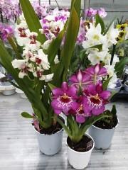 Ароматни орхидеи - комплект 3 броя