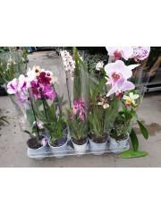 Микс Орхидеи 2-ро качество - комплект 10 броя