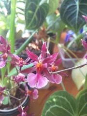 Орхидея Онцидиум (Oncidium) Супер Ароматен