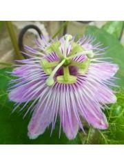 Пасифлора Passiflora foetida var. gossypiifolia - разсад