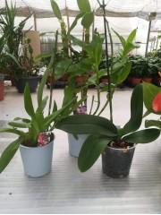 Комплект прецъфтели орхидеи 3 броя