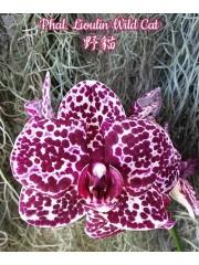 Орхидея Фаленопсис (Phal. Lioulin Wild Cat)
