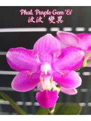 Орхидея Фаленопсис (Phal. Purple Gem 'Es')