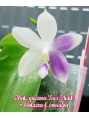 Орхидея Фаленопсис (Phal. Speciosa 'Su's Bluish'x Violacea f. coerulea)