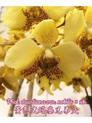 Орхидея Фаленопсис (Phal. Stuartiana var. nobilis x sib)