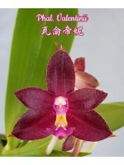 Орхидея Фаленопсис (Phal. Valentinii)