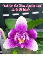 Орхидея Фаленопсис (Phal. Vio Vio 'Three Lips Cat Face')