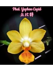 Орхидея Фаленопсис (Phal. Yaphon Cupid)