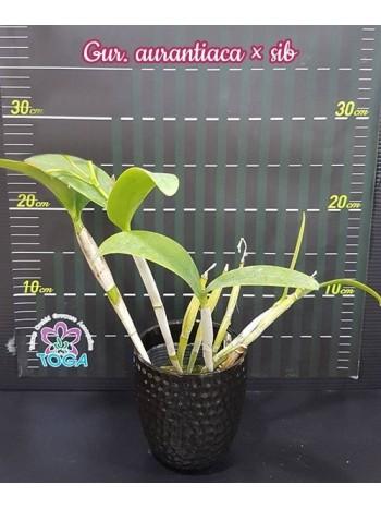Орхидея Катлея (Gur aurantiaca x sib)