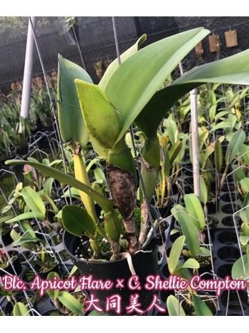 Орхидея Катлея (Blc. Apricot Flare x Shellie Compton)