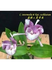 Орхидея Катлея (C. Intermedia x Epi. Cochleatum)