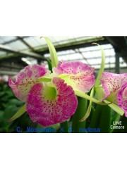 Орхидея Катлея (C. Moscombe x B. Nodosa)