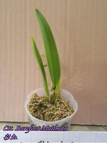 Орхидея Катлея (Ctt. Barefoot Mailman)