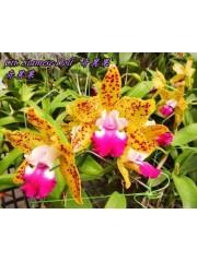 Орхидея Катлея (Ctt. Siamese Doll)