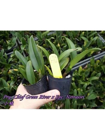 Орхидея Катлея (Pry. Chief Green River x Epc. Netrasiri)