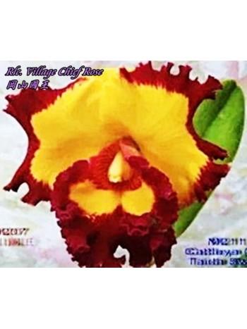 Орхидея Катлея (Rlc. Village Chief Rose)
