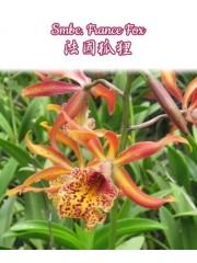 Орхидея Катлея (Smbc. France fox)