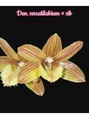 Орхидея Дендробиум (Den. Serratilabium x sib)