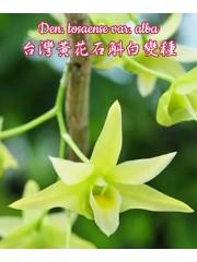 Орхидея Дендробиум (Den. Tosaense var. alba)