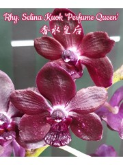 "Орхидея Ринхонопсис (Rhy Selina Kuok ""Perfume Queen"")"