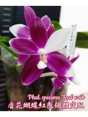 Орхидея Фаленопсис (Phal. Speciosa 'Red' x sib)
