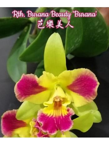 Орхидея Катлея (Rth Burana Beauty 'Burana')