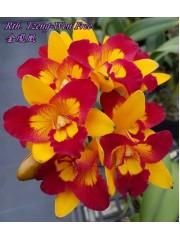 Орхидея Катлея (Rth. Tzeng-Wen Free)