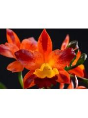 Орхидея Катлея (Rth. Varut Startrack)