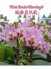 Орхидея Фаленопсис (Phal. Evarise Blue Angel)