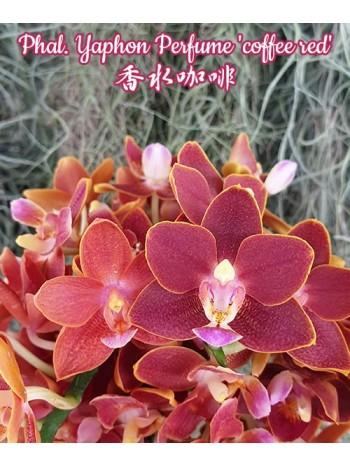 Орхидея Фаленопсис (Phal. Yaphon Perfume 'coffee red')