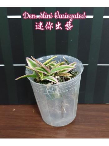 Орхидея Дендробиум (Den. Mini Variegated)