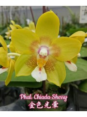 Орхидея Фаленопсис (Phal. Chiada Sherry)