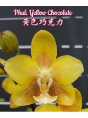 Орхидея Фаленопсис (Phal. Yellow Chocolate)