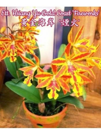 Орхидея Катлея (Ett. Hsiang Yu Gold Coast 'Fireworks')