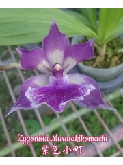 Орхидея Зигонисия (Zygonisia Murasakikomachi)