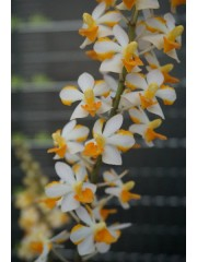 Орхидея Ascocentrum miniatum × Phal. pulcherrima (MC) A18