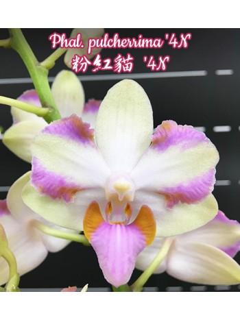 Орхидея Фаленопсис Phal. pulcherrima '4N'  A21