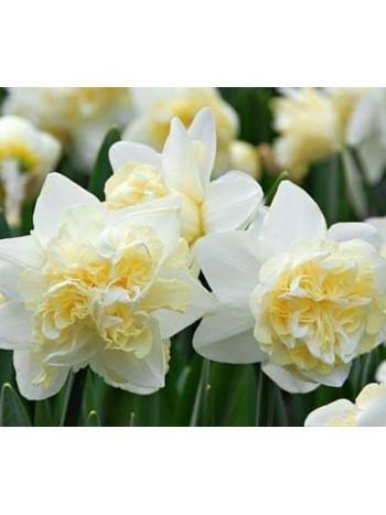 Нарцис Double White - 10 бр