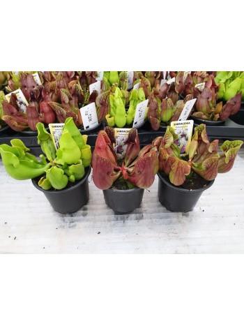 Хищно растение Сарацения ( Sarracenia bakerplant) Микс 3 броя