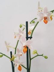 Орхидея Фаленопсис  Мини Марк по поръчка